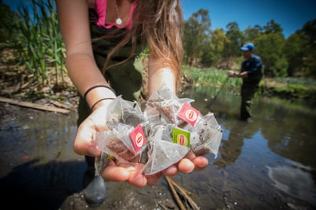 Deakin University researcher Peter Macreadie and PhD candidate Katy Limpert bury the first of 50,000 teabags which will be placed in wetlands around the globe as part of a world-first project to monitor carbon sequestration and breakdown.