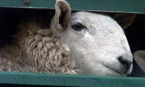 Last year up to 20,000 live sheep were exported to Europe
