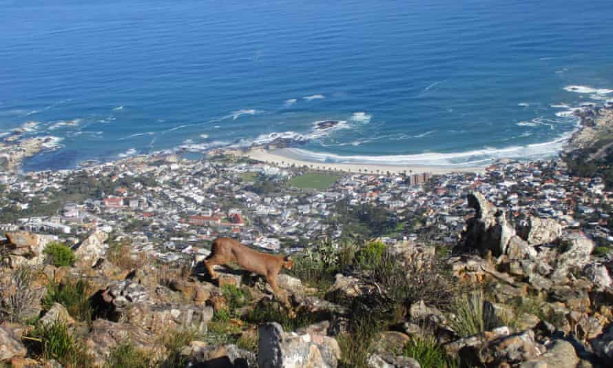 A caracal on the prowl above Cape Town.