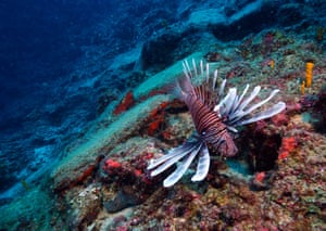 A lionfish is seen in the Mediterranean, off the coast of Antalya in Turkey