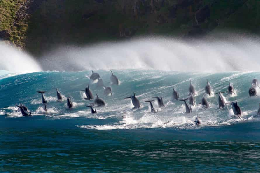Surfing bottlenose dolphins, in the new series of The Blue Planet.