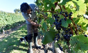 A winemaker of the cooperative des Vignerons de Tutiac (Tutiac wine cooperative) harvests grapes in a vineyard in Blaye near Bordeaux