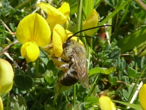 The long-horned bee on a yellow gorse flower