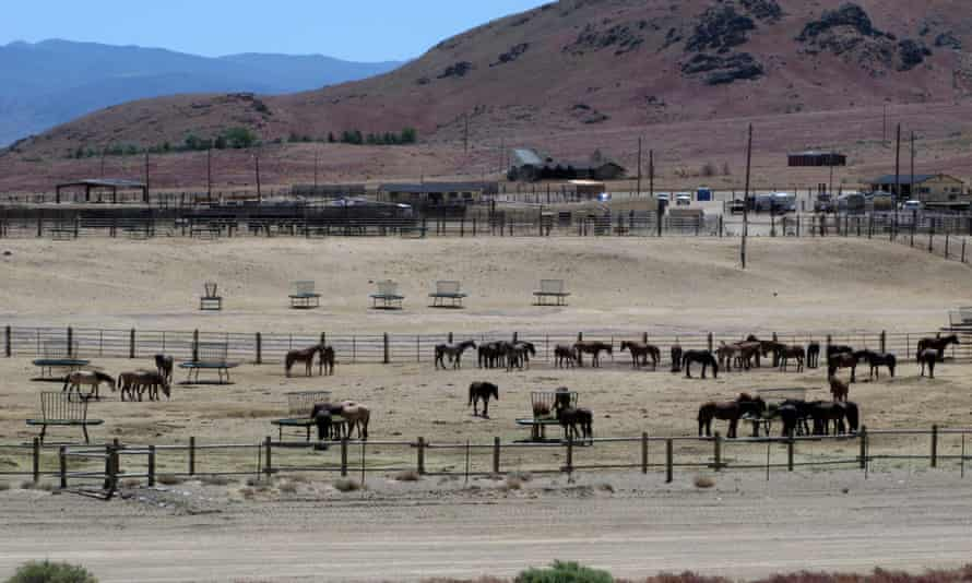 Wild horses in a holding pen in Reno, Nevada. BLM officials say that a western HQ will improve a disconnect between Washington and the field.