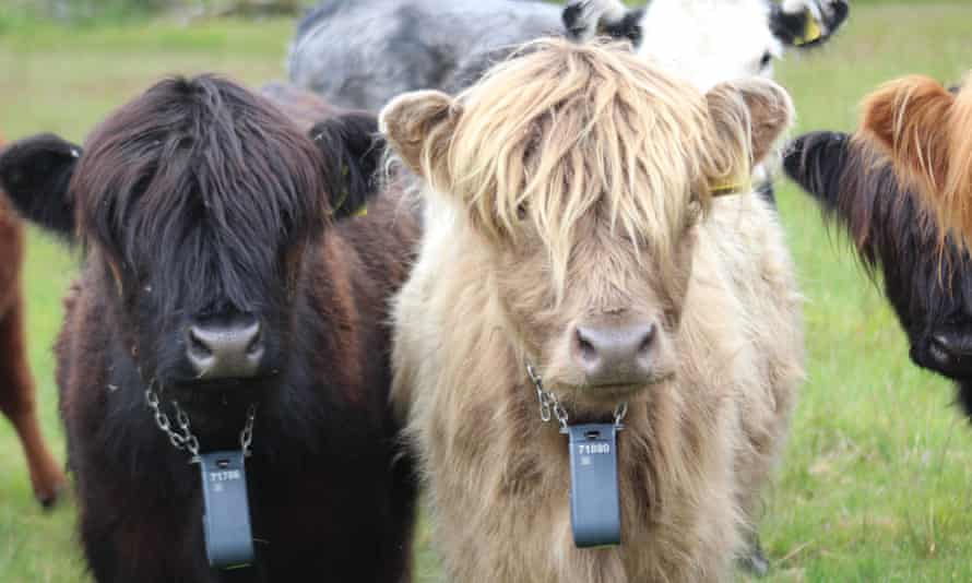 Cows fitted with GPS trackers as part of the Abergwesyn trial.