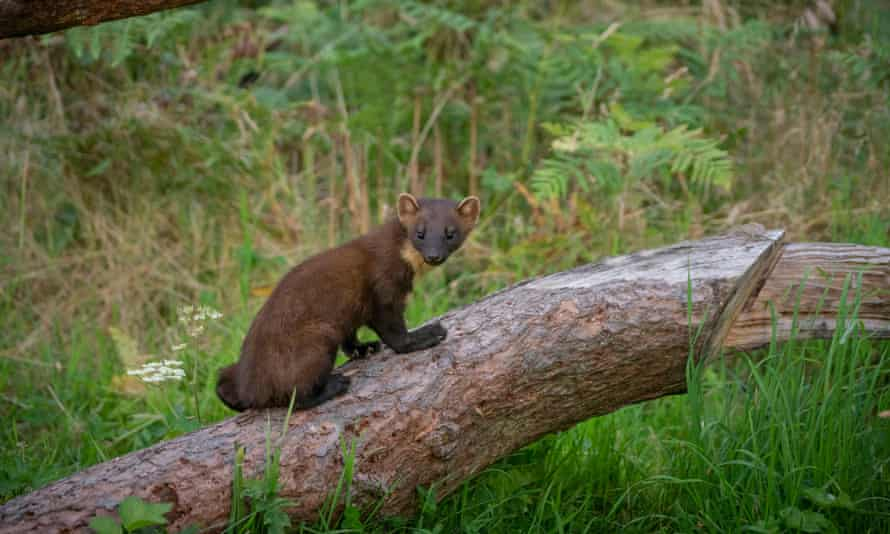 the elusive pine marten, at home in the Highlands.