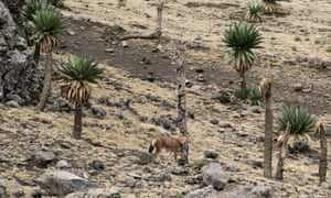 The very rare Ethiopian wolf in the Simien Mountains national park