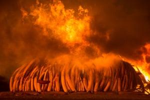On 30 April 2016, Kenya staged its biggest ever ivory burn – 105 tonnes at Nairobi national park