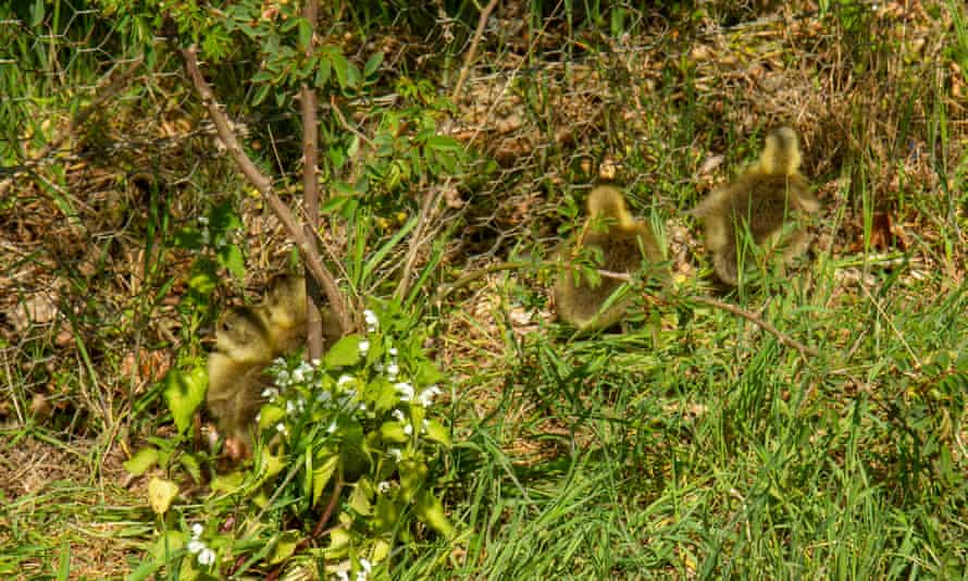 Goslings struggle against a chicken-wire fence