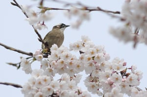 Bird sitting on a cherry blossom tree in Qingdao, Shandong Province, China