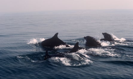 Bottlenose dolphins, Cardigan Bay