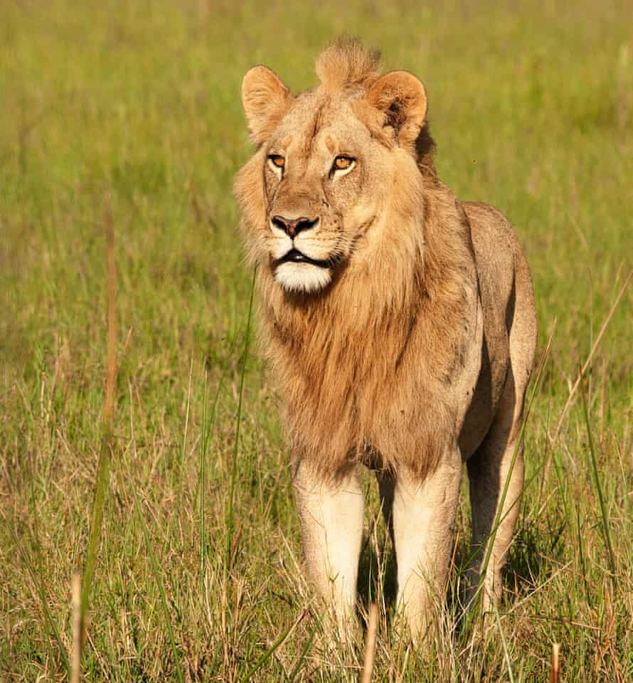 'I don't want to call animals queer – but I am' … one of the lionesses in Okavango Delta who grew a mane.