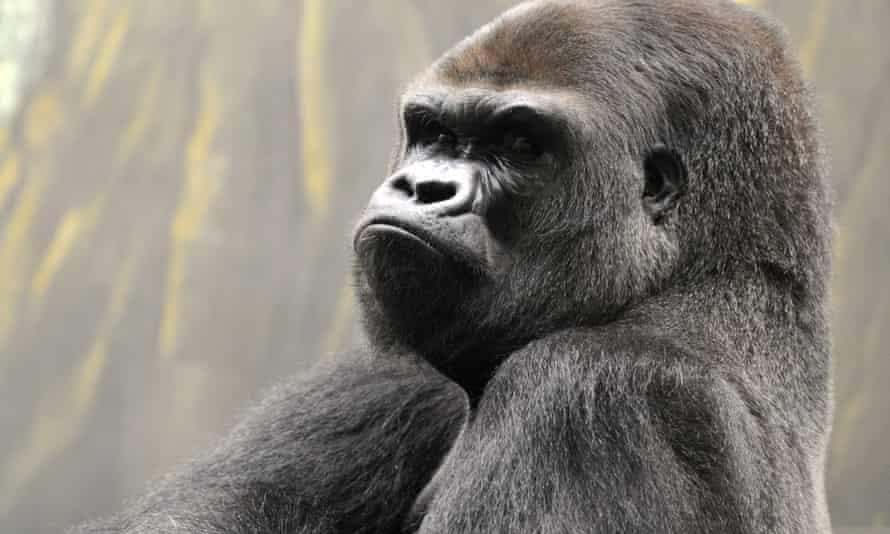 A silverback male gorilla