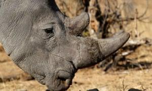 白犀牛在南非