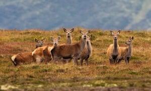 Red deer in the Cairngorms, Scotland.