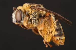 The female long-horned bee
