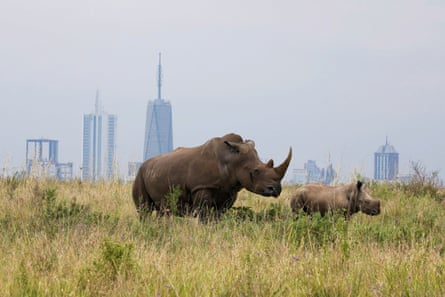 A southern white rhino and her calf inside the Nairobi national park.