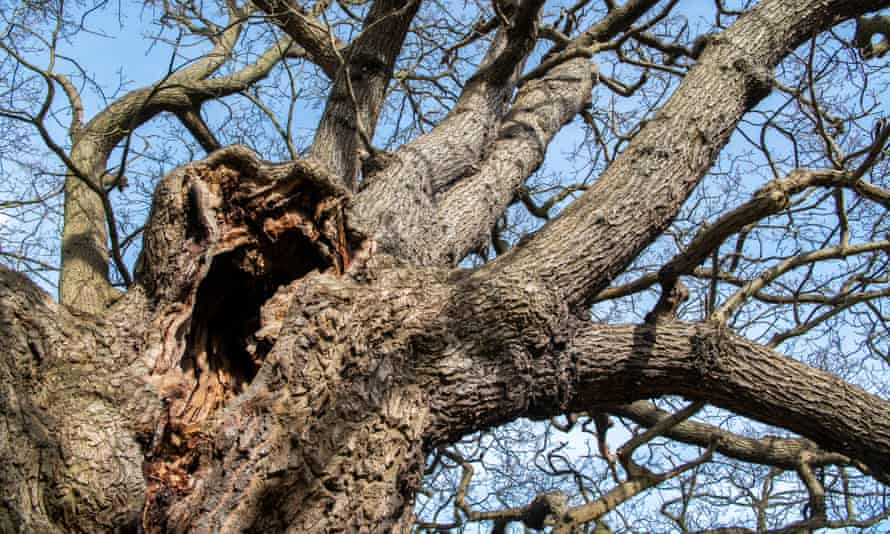 The hollow in an ancient oak in Richmond Park.