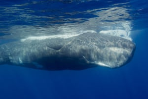 """A male peers at us, curiously. The vast head of a sperm whale contains spermaceti, once believed to be the animal's semen. In fact, this oil has bio-acoustical amplification properties, enabling the whale to produce the loudest sounds of any animal. They also emit morse-like """"codas"""", and can communicate over tens of miles."""