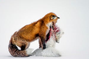 Wildlife photographer of the year winner and mammals category winner: <em>A tale of two foxe</em>s by Don Gutoski (Canada). <br>'Surprising behaviour, witnessed in Wapusk national park, on Hudson Bay, Canada, in early winter. Red foxes don't actively hunt Arctic foxes, but where the ranges of two predators overlap, there can be conflict<strong>. </strong>In this case, it led to a deadly attack. Though the light was poor, the snow-covered tundra provided the backdrop for the moment that the red fox paused with the smaller fox in its mouth in a grim pose.'