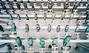 The birds … a range of species of barbet, found across east Asia.
