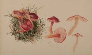 'Hygrocybe coccinea' by Beatrix Potter. A watercolour dated 8 October 1897.