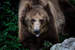 A Brown Bear rescued from a circus