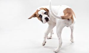 A St Bernard puppy chasing its tail