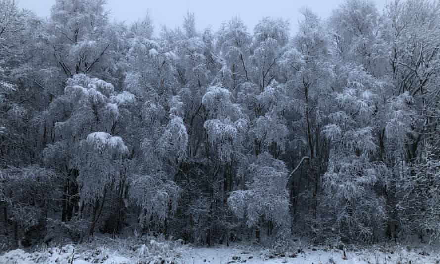 Snow-covered silver birch trees on the Chevin, Yorkshire.