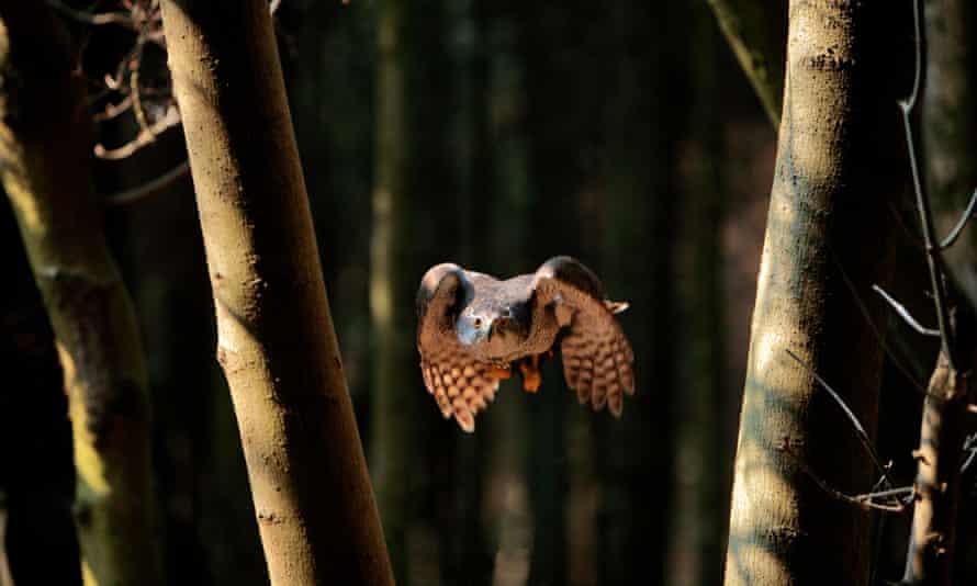 A goshawk flies through woodland in Somerset