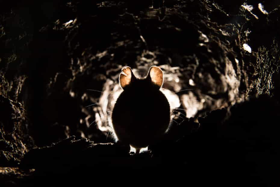 Silhouette of mouse.