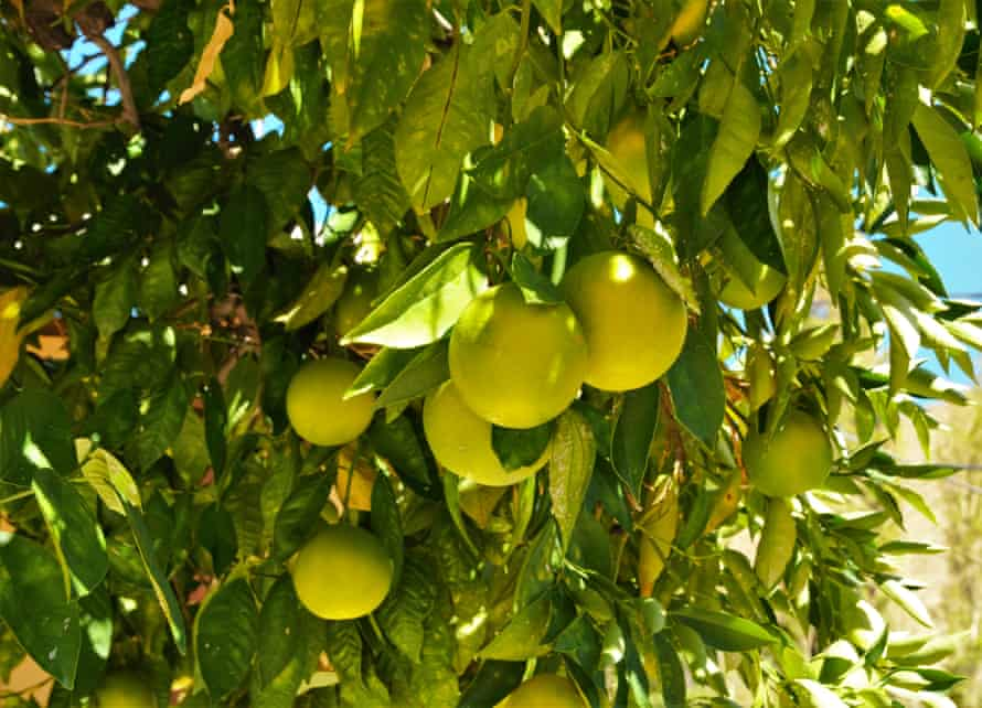 Close-up of lemons on a lemon tree.