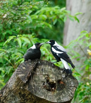 Immature Australian magpies, New South Wales, Australia. Scientists have found that the birds can understand other bird calls