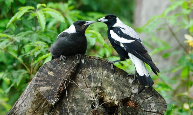 A magpie feeds its young. Photograph: Genevieve Vallee/Alamy