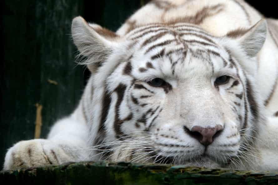A white tigress
