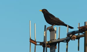 Turdus merula, the blackburd, is one of the world's oldest – and best-studied – urban animals.