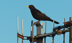 A TV aerial acts as a perch for an urban blackbird.