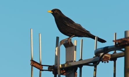 A TV aerial acts as a perch for an urban blackbird.