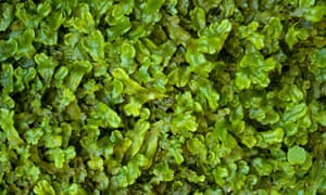 Common Pellia liverwort (Pellia epiphylla)
