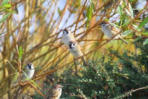 Tree sparrows at The Leas and Whitburn coastal park  in South Tyneside