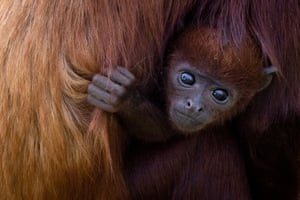 Port-Saint-Pere, FranceA newborn Red Howler monkey, Shongo, holds his mother at the Planete Sauvage zoologic park outside Nantes. Shongo is the first red howler monkey to born in captivity in France