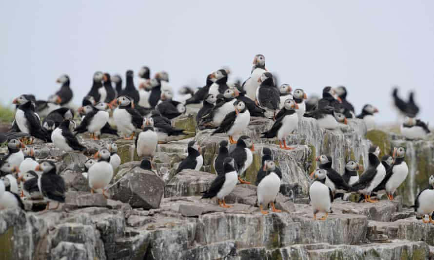 Puffin colony of rocks