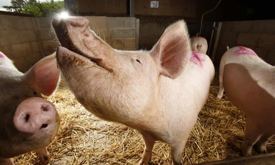 Scientists the University of Edinburgh's Roslin Institute genetically engineered pigs to be immune to one of the world's most costly animal diseases.