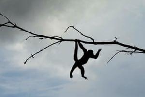 A squirrel monkey at the ecological park in Nueva Loja, Ecuador