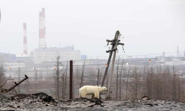 A polar bear on the outskirts of the Russian industrial city of Norilsk, June 2019.