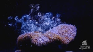 Eggs rise in the water column from a Pillar coral (Dendrogyra cylindricus) as it successfully spawns in an aquarium for the first time at a Florida Aquarium facility in Apollo Beach