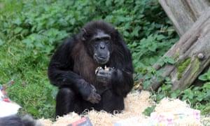 Cindy, Edinburgh zoo's oldest chimpanzee, celebrates her 50th birthday on 15 October 2015.