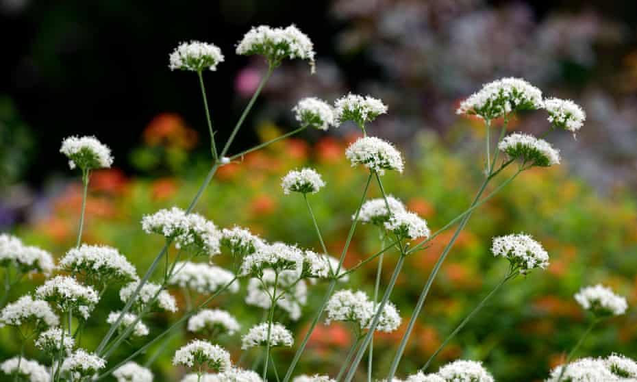Valeriana phu is a strange but delightful plant.