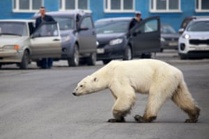 A wild polar bear walks through the outskirts of the Russian industrial city of Norilsk