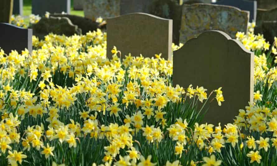 daffodils in a churchyard in holt, north norfolk